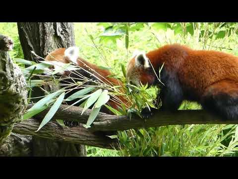Zoologischer Garten Karlsruhe - Red Pandas