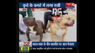 American Bully : Dog of the1 million Rupees