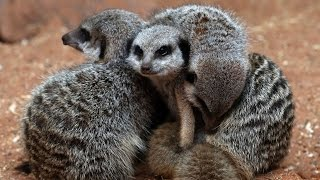 (1.46 MB) Meerkats are actually pretty violent. Who knew? Mp3