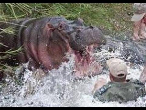 HIPOPOTAMO ATACA A HOMBRE. Muere por defenderse