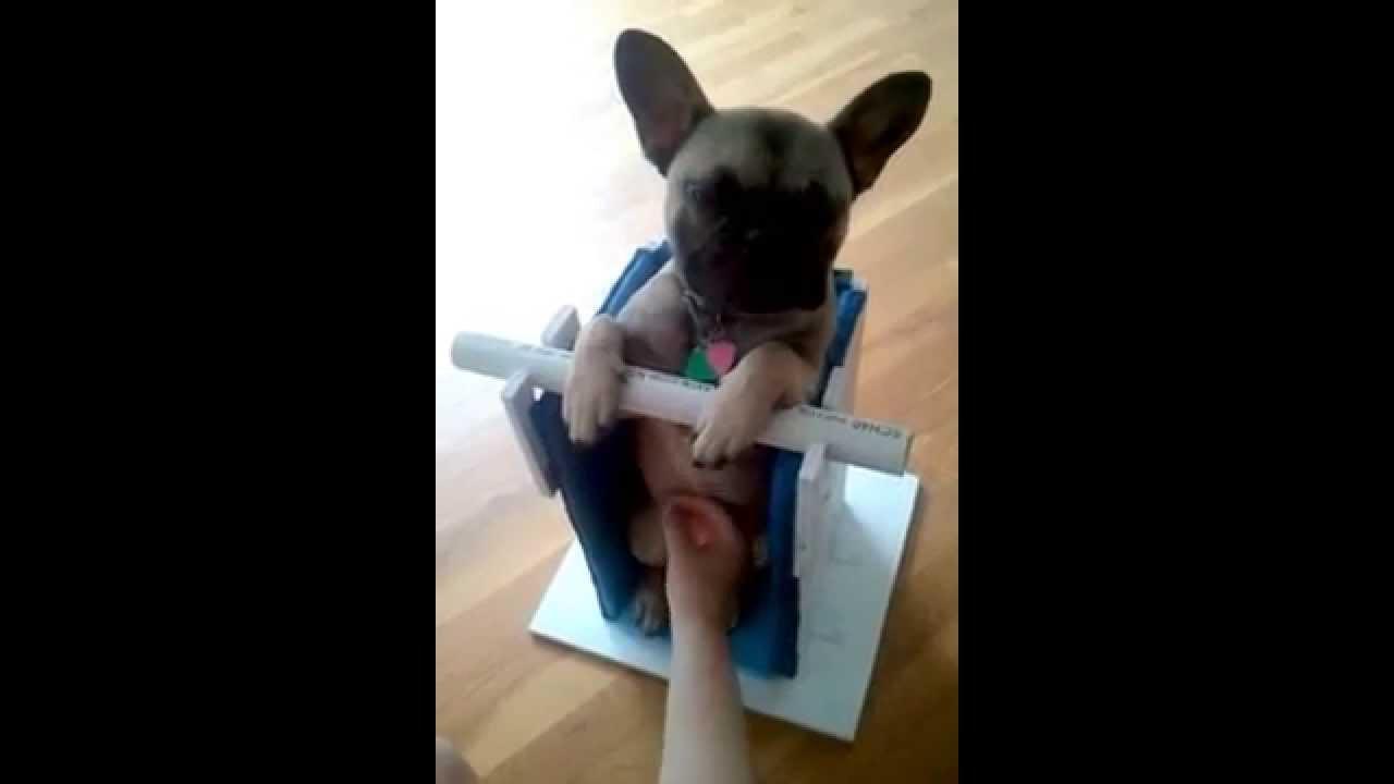 Dog Megaesophagus Chair  Bailey Chair