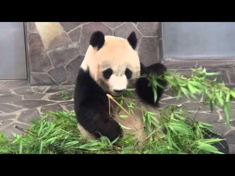 2011.07.18 王子動物園のパンダ「旦旦(タンタン)」
