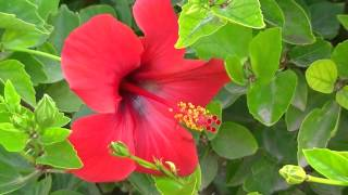 EL PACÍFICO: Hibiscus rosa-sinensis (http://riomoros.blogspot.com.es/)