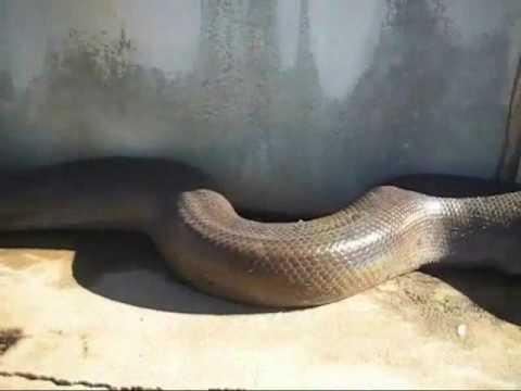 Killer Found in Florida Snake Found in Florida