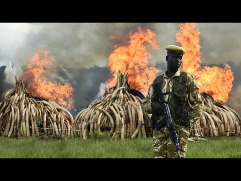 Kenya Burns 100 Tons Of Elephant Ivory, Rhino Horn In Poaching Protest
