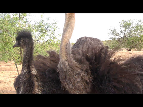 Sexy Sexy Sniper's sex revealed & territorial displays in Ostriches