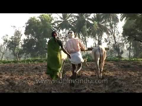 Agriculture in India: Farmer ploughs field with cattle in Karnataka