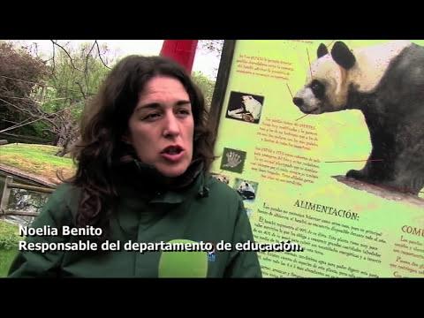 Despedida de las crías de osos panda del Zoo Aquarium de Madrid
