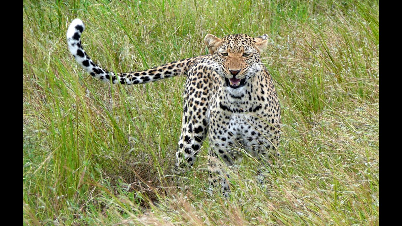 Pictures of african leopard Leopard Stock Photos and Pictures Getty Images
