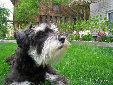 Miniature Schnauzer playing around