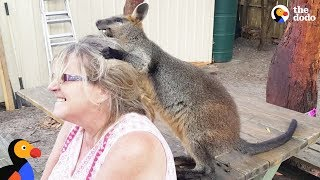 Rescue Wallaby Loves To Drive His Parents Nuts - LUCKY  | The Dodo