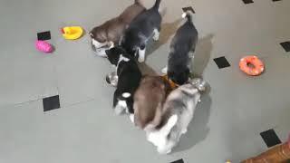 Husky Puppy On sell India 8208508982