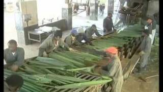 Sisal Fibre Production