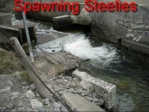 Steelhead Trout Spawning