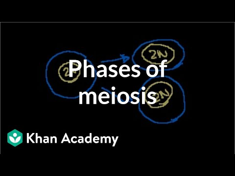 Phases Of Meiosis video