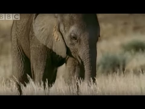 Orphan elephant baby's struggle for survival - BBC animals