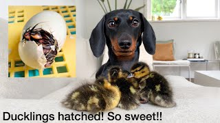 Ducklings hatched| Dachshund and ducklings.