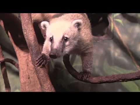 Header of mountain coati