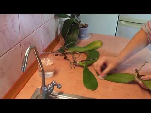 Можно поливать орхидеи янтарной кислотой