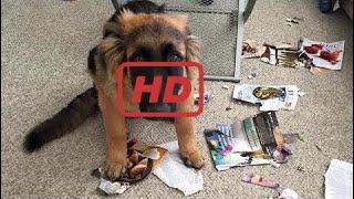 German Shepherd Puppies Funny Compilation #4 - Best of 2017