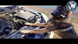 Funniest & Cutest German Shepherd Videos #20 - Compilation 2017