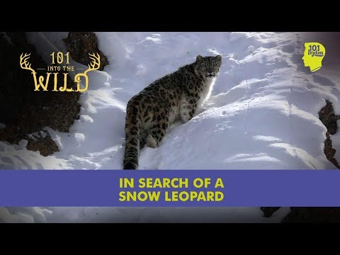 In Search Of A Snow Leopard - Into The Wild - 101 India