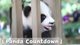 【Panda Countdown 】Ji Xiao Is Kissing You! | Baby Panda Struggles To Get Off | iPanda