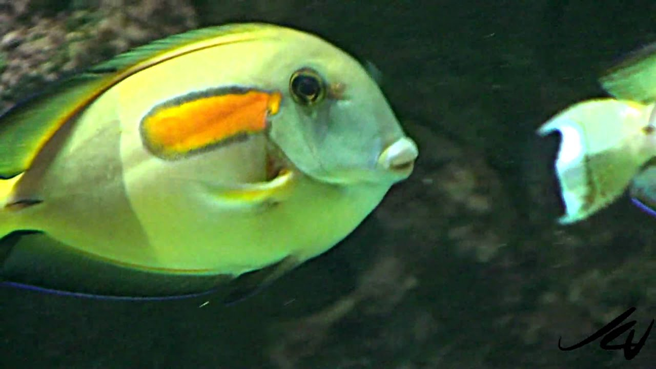 Aquarium fish videos youtube saltwater aquarium tropical for Tropical aquarium fish