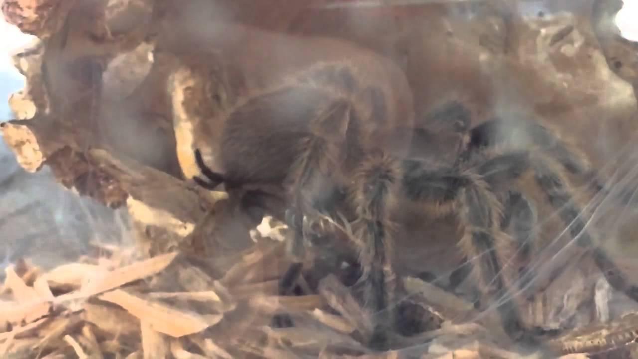 Tarantula Web Spinning Rose Haired Tarantula Spinning