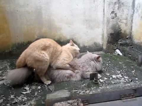 Cat mating - successful