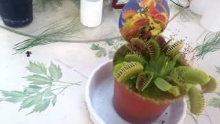 dando de comer a una planta carnivora