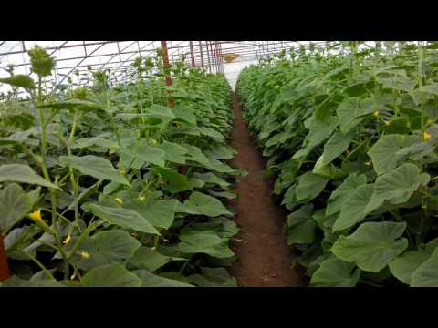 Выращивание огурца во втором обороте 78