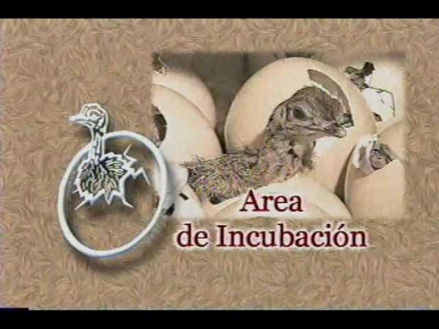Crianza de Avestruces - Agroinca ppx