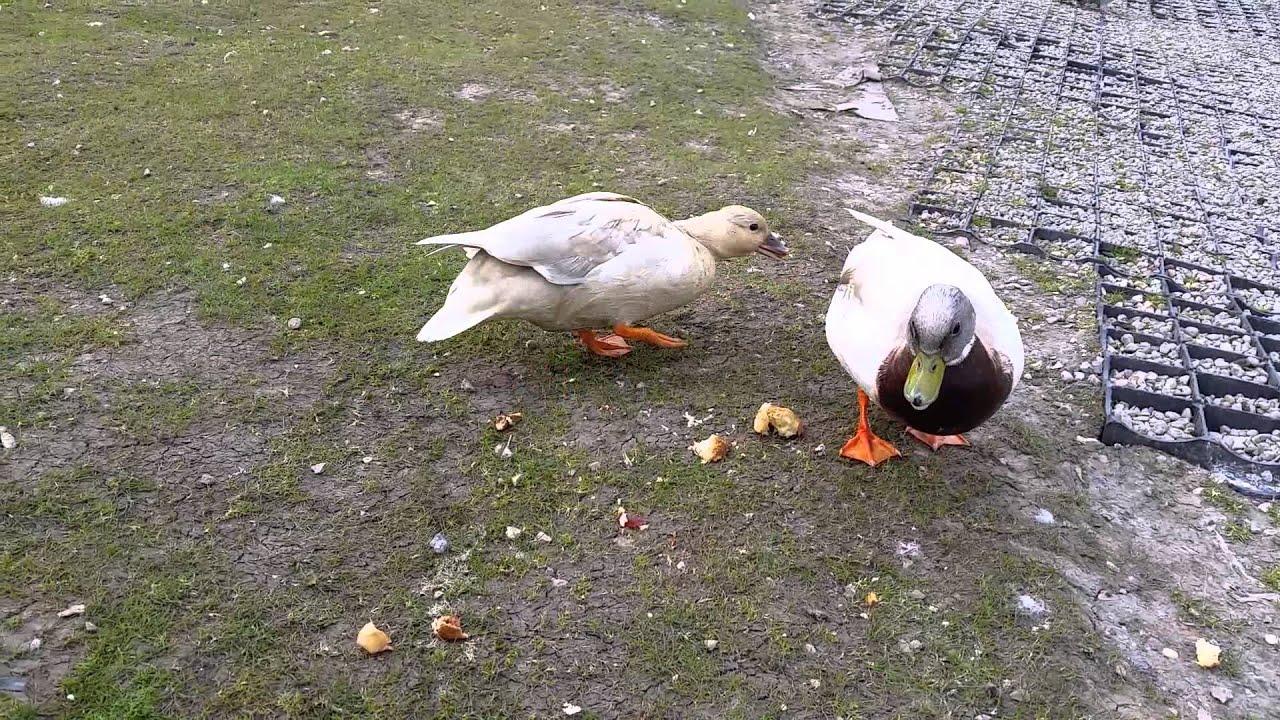 Кормление домашних гусей - Своя ферма 58