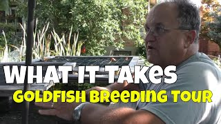 A Fish Room Tour of One of the USA's Top Goldfish Breeders Fish Rooms