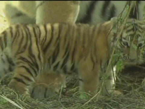 Very cute baby Siberian tiger cub