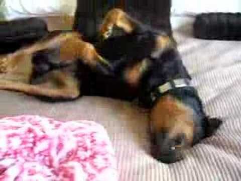 World's Biggest baby! Oz my Rottweiler sleeping on my bed Video