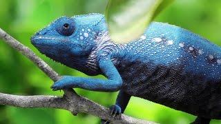 Chameleon Changing Color