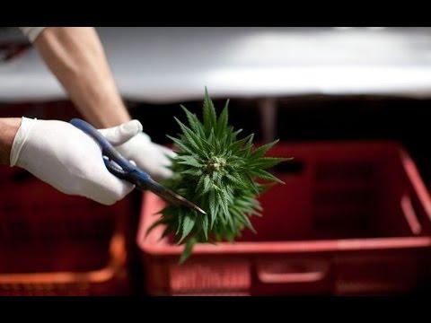 Новый игрок на рынке марихуаны. Израиль планирует революцию в области медицинского каннабиса