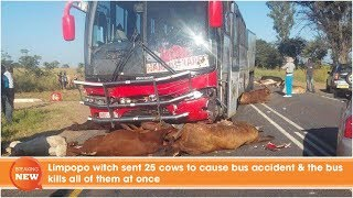 Limpopo witch sent 25 cows to cause bus accident & the bus kills all of them at once