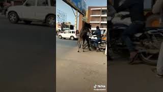 Funny video for 🐄 cow and man