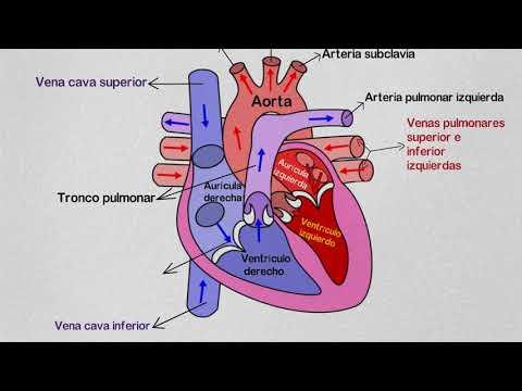 Partes del Corazón Humano y sus Funciones | partes del corazón y sus ...