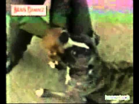 Ataque de perro pitbull