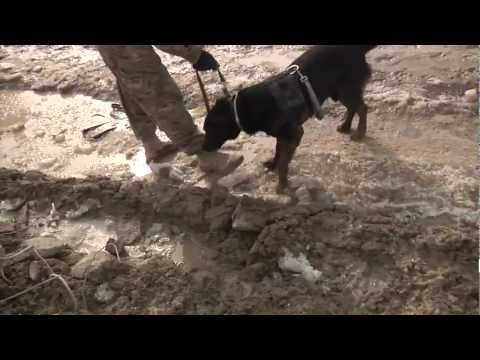 Bomb Sniffing Dogs In Afghanistan - Mine Detecting Dogs - Bagram Air Base