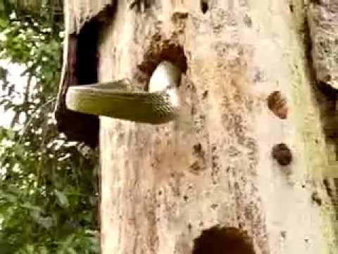 Woodpecker vs. egg eating Yellow-bellied Puffing Snake (Pseustes sulphureus)