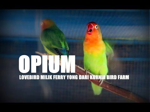 suara burung lovebird kores belajar bersama ngekek panjang