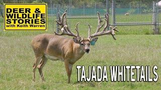 Tajada Whitetails   Deer & Wildlife Stories