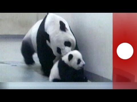 Giant Pandas Life Cycle - ChinaHighlights