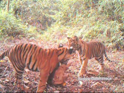 Tiger cub video triggers WWF forest protection call