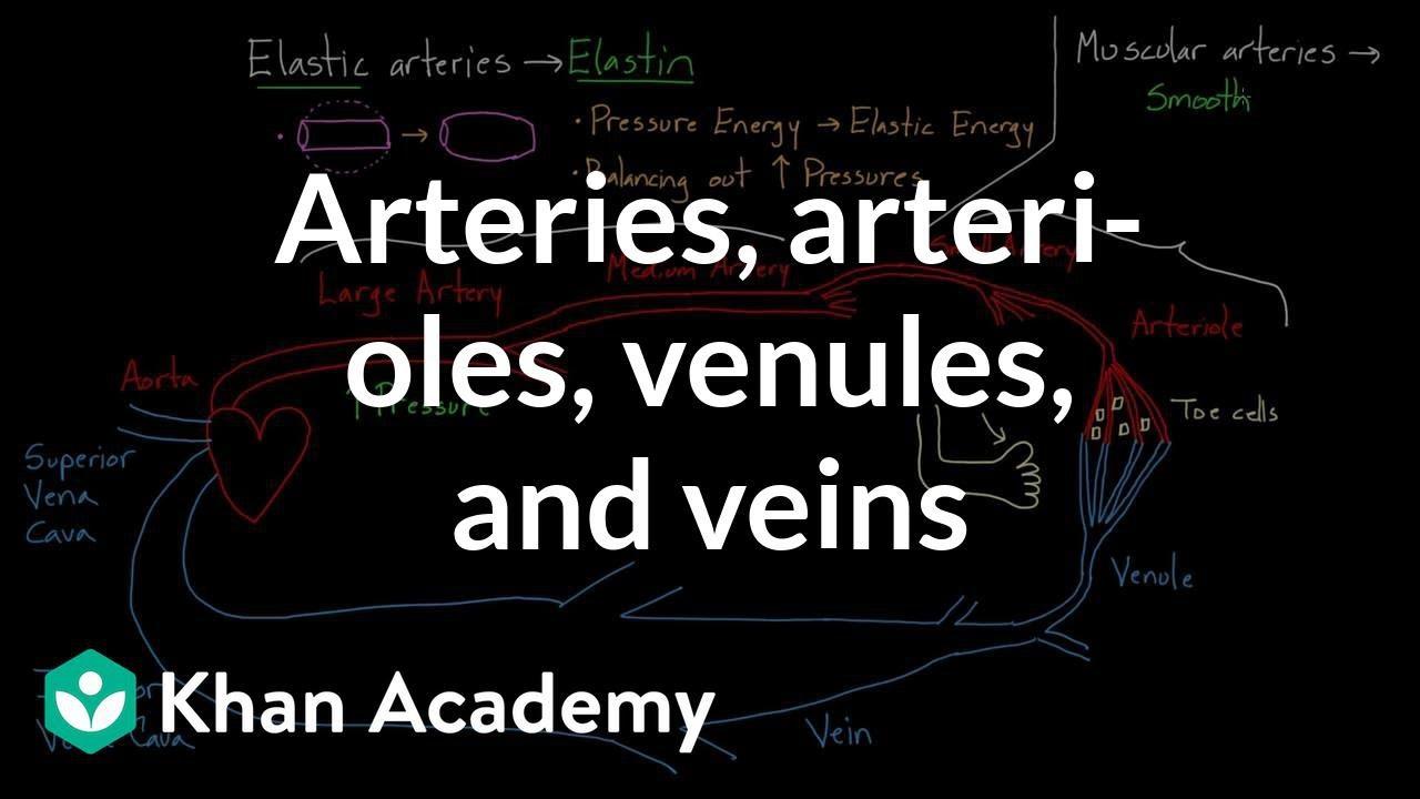 Veins Venules Arteries Arterioles And Capillaries Arteries Arterioles Venules